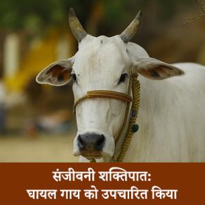 injured cow